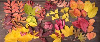 осенние листья засушить