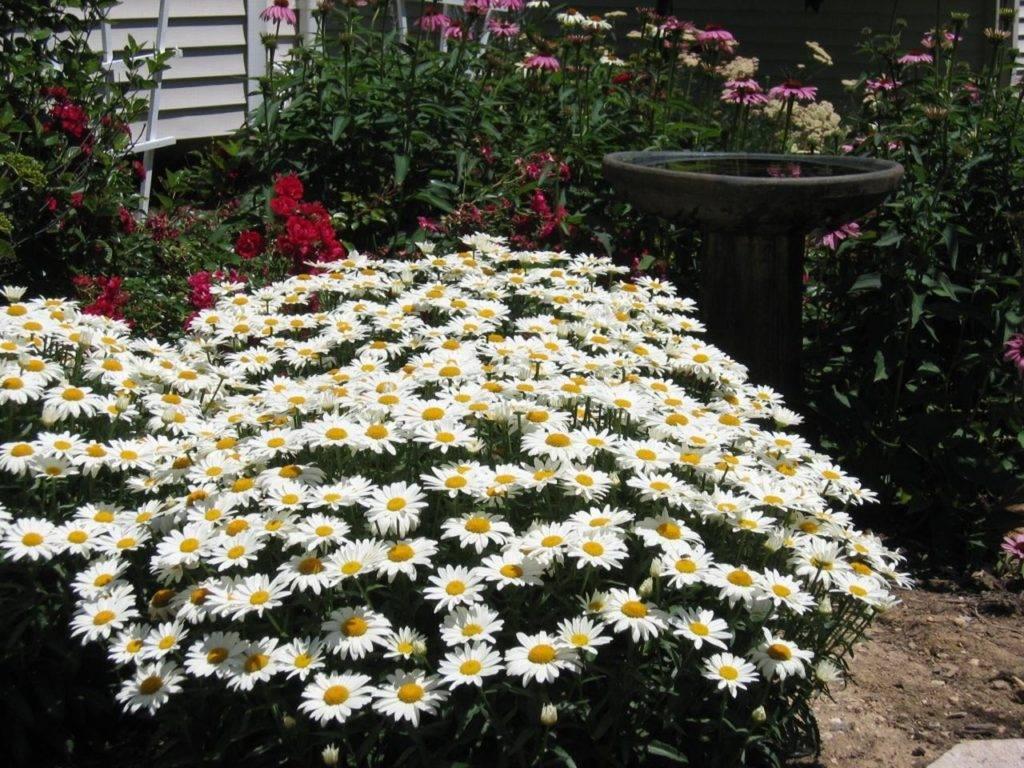 кустовая садовая ромашка крупная