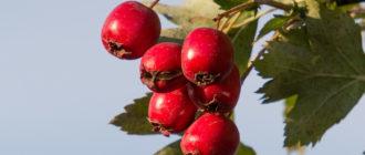 боярышник ягоды