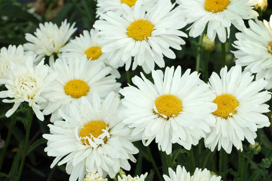 Нивяник (Chrysanthemum leucanthemum)