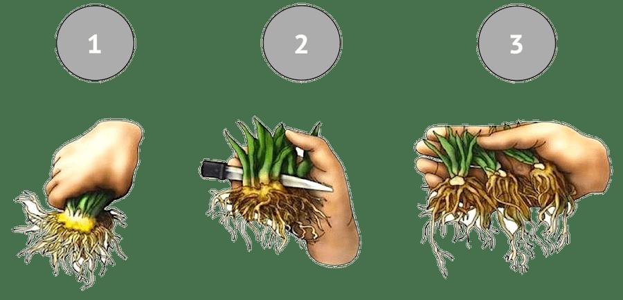 Размножение делением куста ромашки